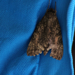 carpets moth